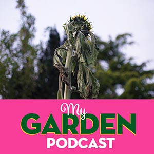 Garden podcast sunflowers