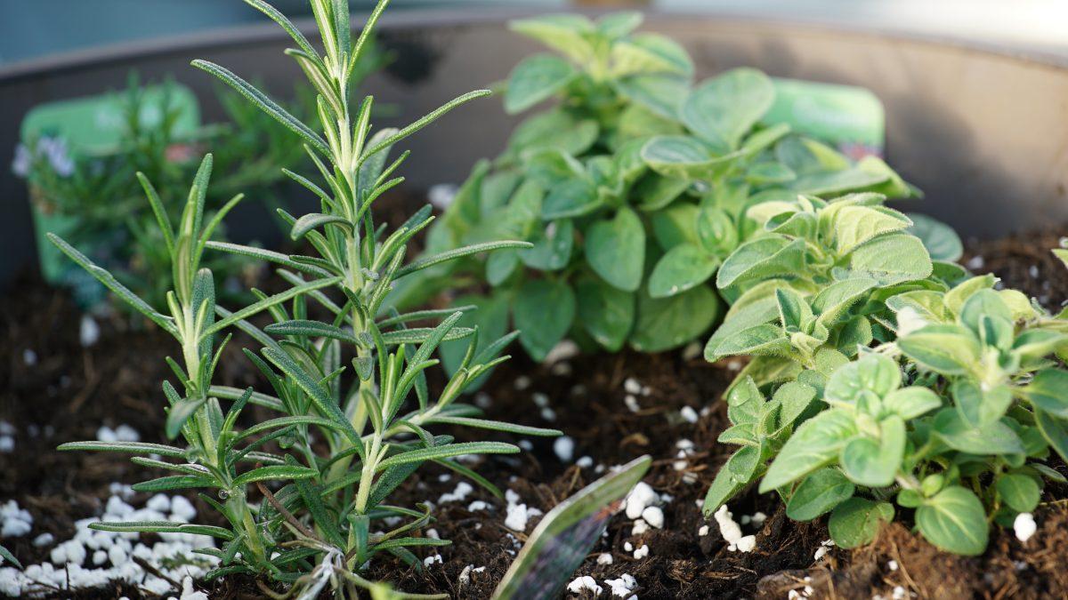 Gardening podcast herbs